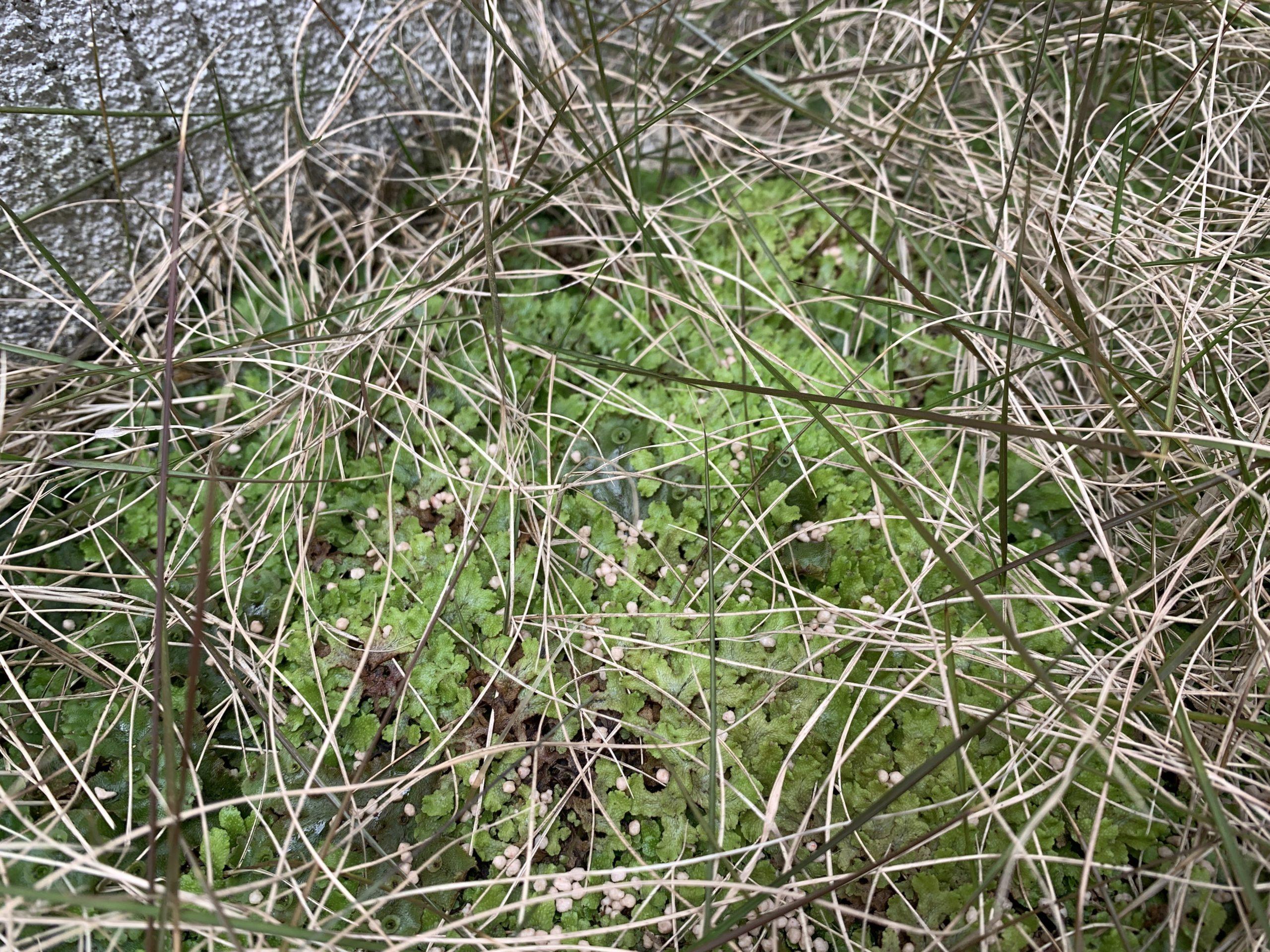 芝生のコケ駆除には?シバキーププラスαとエース液剤の効果は?